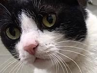 My story Penny-DSH Black/White female, front declawed,