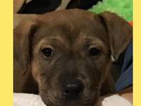 Penny's story Penny is a female pit/shepherd mix and