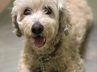 Penny is a sweet older poodle mix that was running out