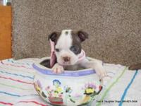Penny is a feisty little red and white female Boston