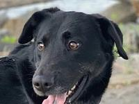 My story Pepe is a 3-year-old neutered male black lab.
