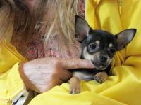 Pepper is a tiny black, short hair male Chihuahua with