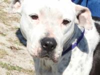 Pepper is a medium sized female Bulldog mix, white and