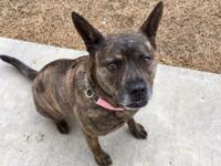 Pepper is a 3 year old, spayed female, Cattle dog mix.