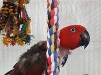 Pepper is a 16 year old  female Eclectus.  She is tame
