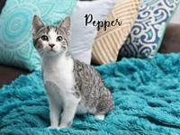 Pepper Female Kitten's story Meet Pepper ~ Pepper will