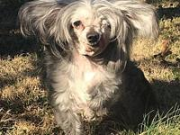 Pepper in TN's story Pepper is a 9 lb Chinese Crested