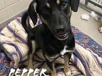 Pepper 11988's story Pepper is a 1-2 yr old Shepherd