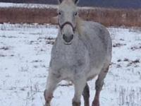 Percheron - Ice - Extra Large - Adult - Female - Horse