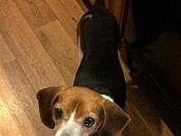 Percy's story Adult Beagle mix Percy is a very