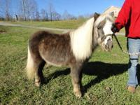 """Thumper"" is a 3 yr old Mini gelding who stands 32"""