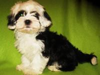 Adorable Maltese/teacup Poodle mix puppies are prepared