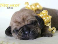 ~Puggle Puppies ~ Beagle & Pug Designer Pups ~ These