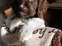 Eight week old female English Springer Spaniel. Litter