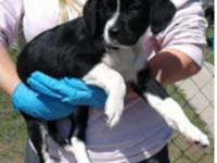 Perla is a 10-12 week old hound weighing currently at