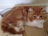 I have 2 CFA registered red and white dollface Persians