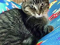 My story Pretty Very Shy Short Haired brown tabby with