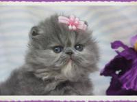 Healthy purebred Himalayan and Persian kittens