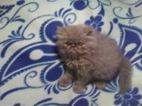 CFA registered himalayan kittens 260.00 pet price,