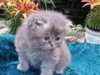 PERSIAN AND HIMALAYAN CFA KITTENS, SWEET AND FLUFFY FUR