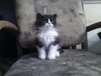 I have for sale a baby Persian Kitten. He is a adorable