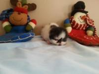 Persian cfa reg. kitty's available for sale! Birthday