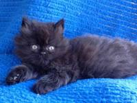 CFA registered solid black male Persian will be ready