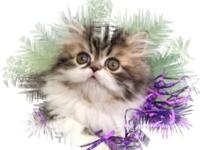 CFA Registered Persians - Brown tabby / white - male -