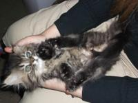 Adorable Persian kittens, very active, playful,