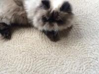 1 year old male seal point himalayan persian cat, CFA