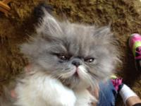 Grey and white Persian boy kitten for sale. Born