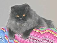 "Persian cat, purebred, ""Scarlett O'hara"", Pretty Dark"