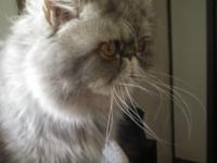 Persian silver male very sweet cat always uses his
