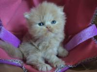 Gorgeous Cream color 3 weeks old Persian male- Kitten: