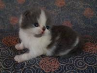 KaiKins has three wonderful kittens available for
