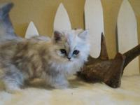 PEPPER- STUNNING DOLL FACE MALE PERSIAN! SUPER PLAYFUL,