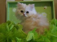 SAM- STUNNING DOLL FACE MALE PERSIAN! SUPER PLAYFUL,