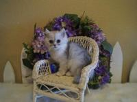 TREY- STUNNING DOLL FACE MALE PERSIAN! SUPER PLAYFUL