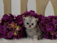 DOLL FACE PERSIANS- BEAUTIFUL STUNNING LITTLE MALES.