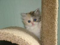 Kitten. Born May 5th.(Other kittens available are
