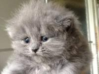 Very beautiful PERSIAN kittens, extra fluffy are