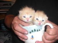 Lovable two siblings Persian Golden kittens C.F.A.