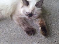 I have a full blooded lady Persian/Hemingway that's 9
