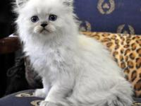 Quality in-home Cattery offering Top quality kittens