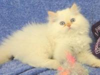 All of our kittens have been sold We hope to have a
