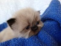 Available adorable new kittens, chocolate point boy and