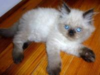 Several Persian and Himalayan kittens from CFA