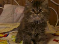 Delilah is an 8 week old purebred Persian kitten that