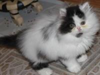 Persian Kitten, White with Black bi-color Male, 9 weeks