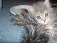 We have one kitten left. He is a gray male and weighs